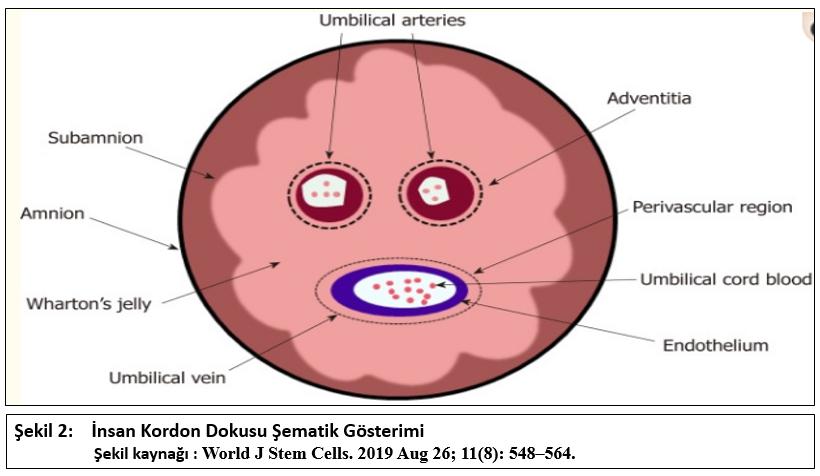 Göbek Kordonu Mezenkimal Kök Hücreleri, İnsan Göbek Kordonu Mezenkimal Kök Hücreleri, Karaciğer Fibrozunda İlaç uygulamaları, Karaciğer Fibrozunda İyileştirici Etkisi, Kordon Doku Kaynaklı Mezenkimal Kök Hücreleri
